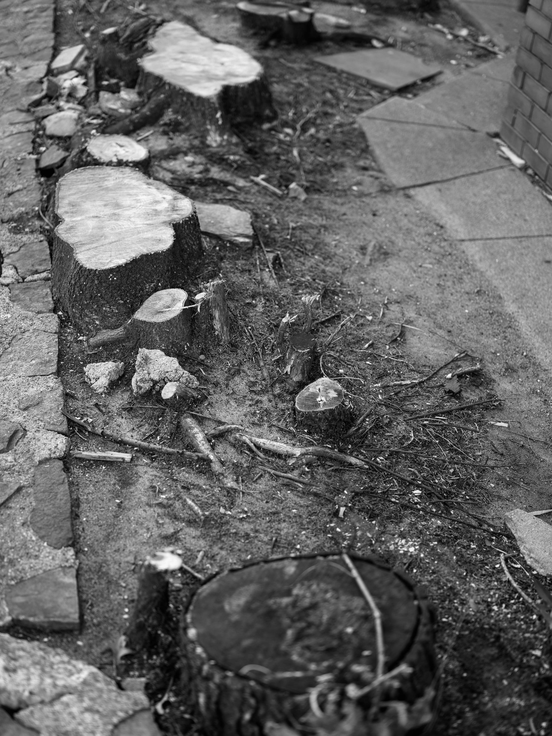 A black and white photograph of stumps running alongside a narrow cement path. The stump closest to the foreground is black, indicating disease. The rest are white, as though freshly cut.